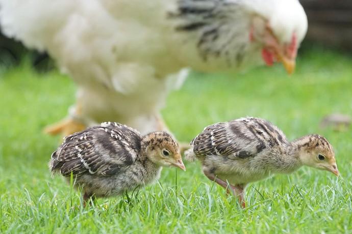 Bill Gates quiere donar 100.000 pollos para combatir la pobreza en África
