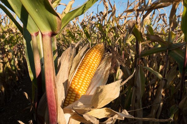"a029-04 El maíz Bt un transgénico ""español"""